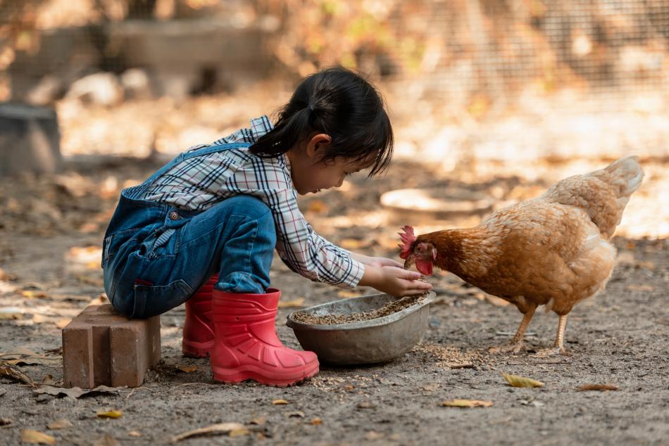 kid feeds chicken